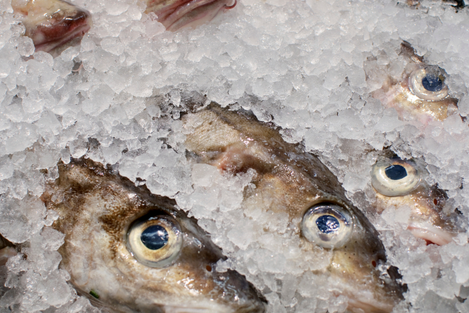 Haddock in Ice